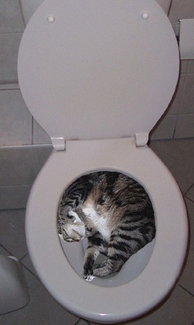 cat-in-toilet